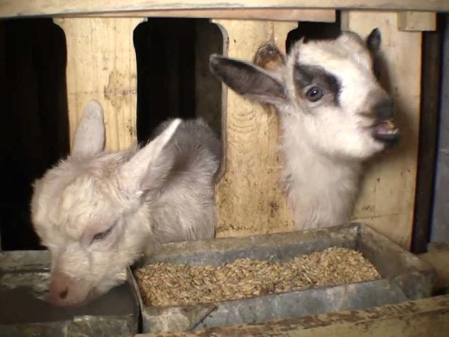 Кормушки для козлят