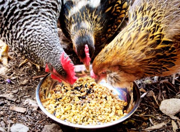 Курицы едят корм