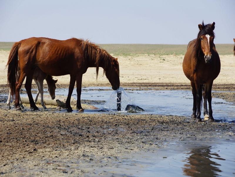 Лошадь пьет
