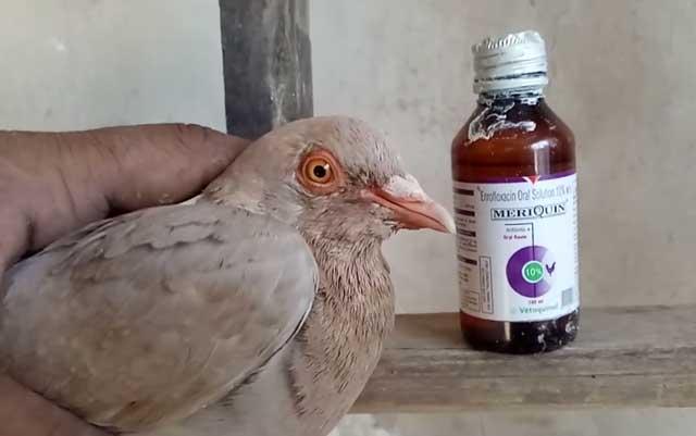 Лечение больного голубя