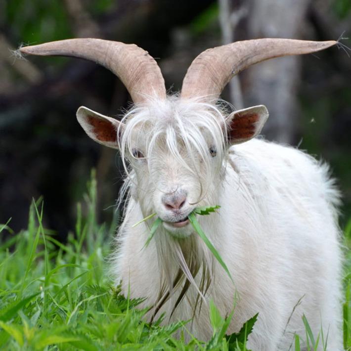 Коза ест зелень