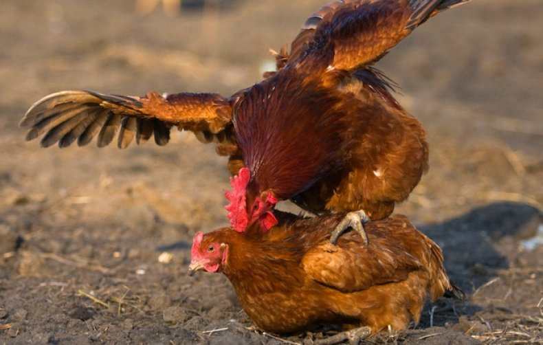 Процесс оплодотворения у кур