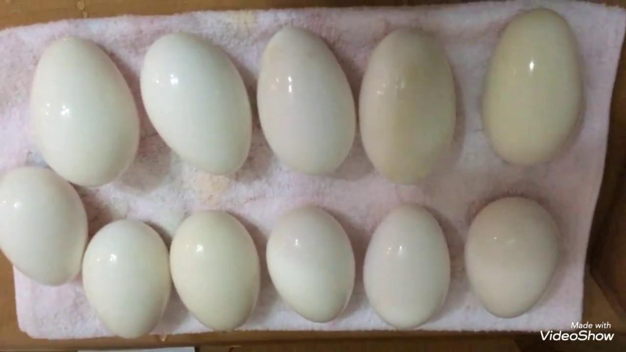 Подготовка гусиных яиц к инкубации