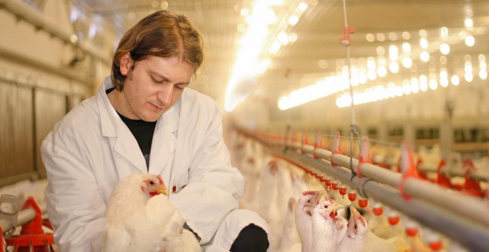 Ветеринар с курицами