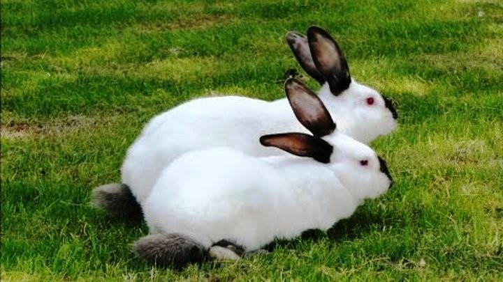 Калифорнийские кролики